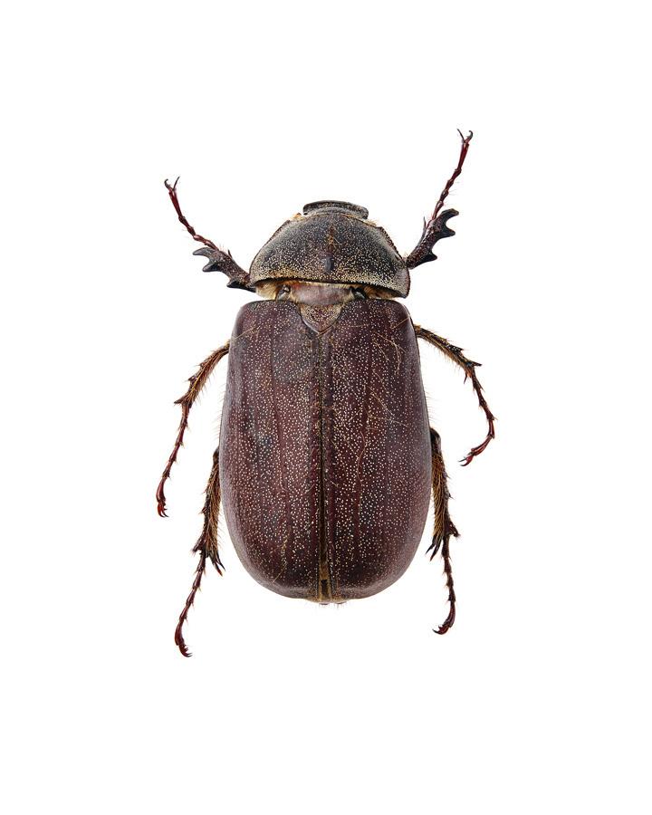 Insect_Buprestidae