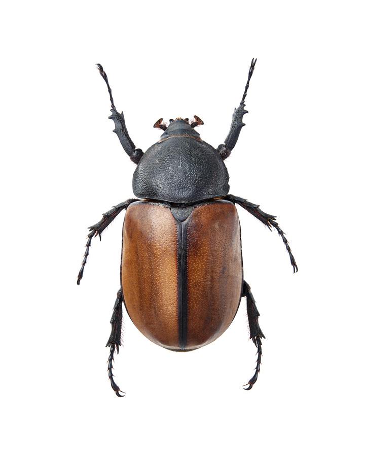 Insect_Eupatorus_Gracilicornis_F