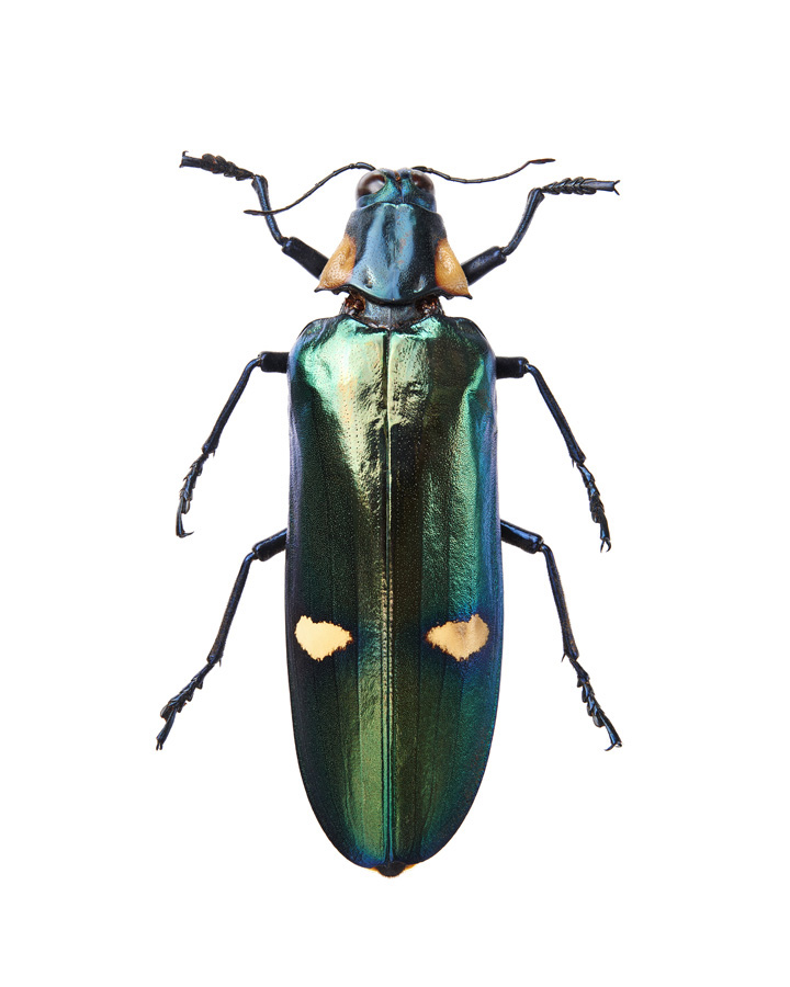 Insect_Magaloxantsa_Bicolor