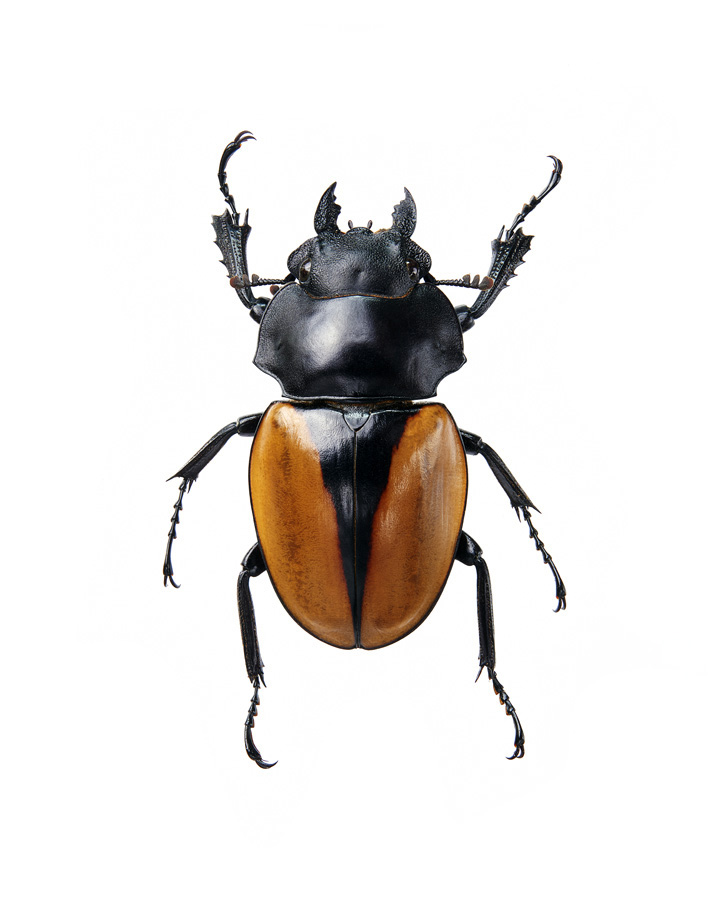 Insect_Odontolabis_Elegans_f