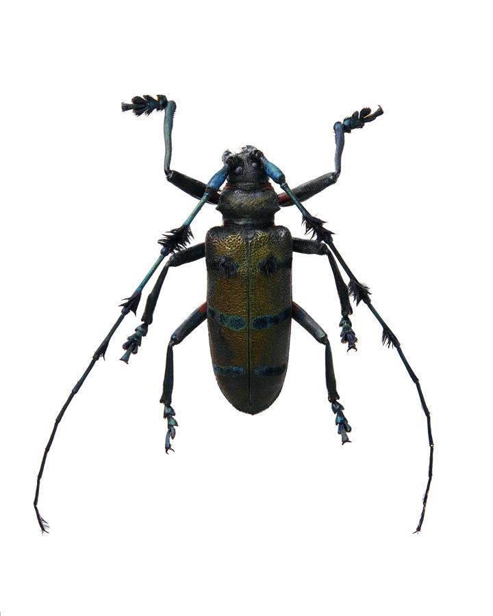 Insect_Paraleprodera_Crucifera