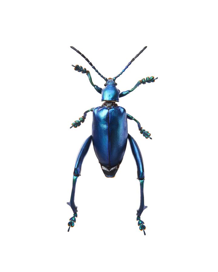 Insect_Sagra_Femorata