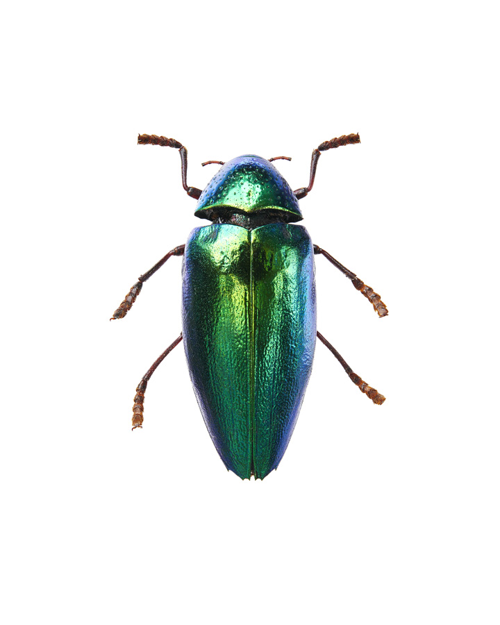 Insect_Sternocera_Aeguisignata