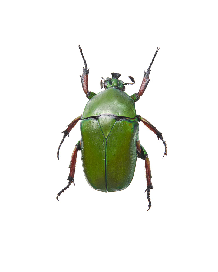 Insect_Torynorrhina_Flammea