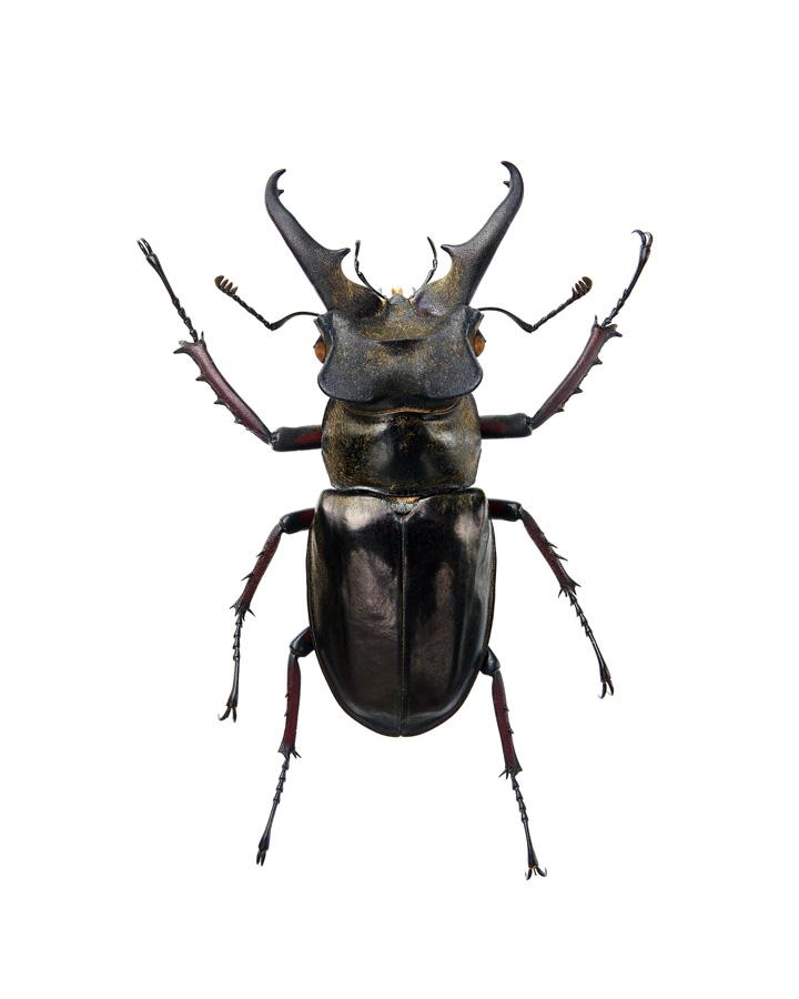 insect_Locanus_Formosanus